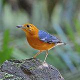 Orange-headed Thrush Stock Image