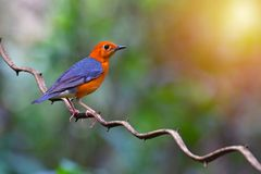 Orange headed Thrush Bird. Beautiful colorful bird, Orange headed Thrush Geokichla citrina perching on a branch on sun ligth royalty free stock photography