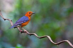 Orange headed Thrush Bird