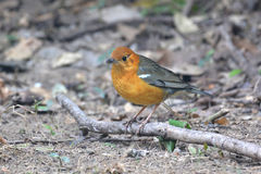 Orange headed thrush Stock Photography