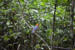Orange headed thrush. The orange-headed thrush is a bird in the thrush family. It is common in well-wooded areas of the Indian Subcontinent and Southeast Asia stock photos