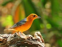 Orange-headed Thrush Royalty Free Stock Photography