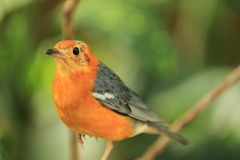 Orange-headed thrush Stock Photos