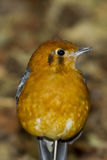 Orange headed Thrush (Zoothera citrina) Royalty Free Stock Photos
