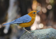 Orange-headed Thrush Zoothera citrina Stock Photo