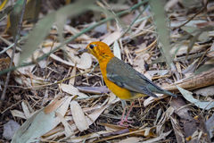 Orange-headed Thrush (Zoothera citrina) Stock Image