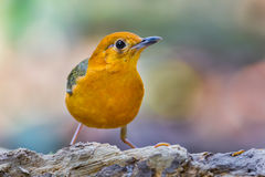 Orange-headed Thrush (Zoothera citrina) Royalty Free Stock Image