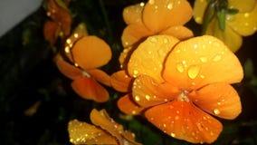Orange heartsease Stock Photo