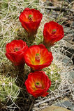 Orange Hedgehog Cactus Flowers Stock Photo