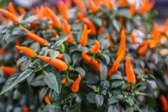 Orange heißer Cilli-Pfeffer Lizenzfreie Stockbilder