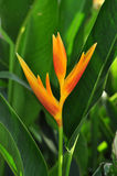 Orange Heliconia Stock Image