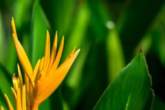 Orange Heliconia blomma i grön suddig bakgrund royaltyfria foton