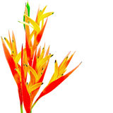Orange Heliconia Stock Photos