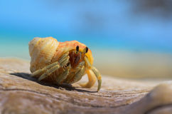 An orange helmet crab Royalty Free Stock Images
