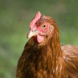 Orange hen Royalty Free Stock Photography