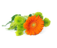 Orange Herbera. With green flowers on white Royalty Free Stock Images