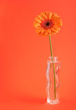 Orange herbera in vase Stock Photos