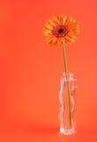 Orange herbera in vase. Over orange background Stock Photos
