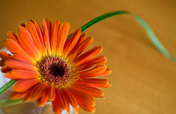 Orange herbera in a vase. With orange-brown background Stock Photo