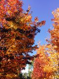 Orange Herbstbäume lizenzfreie stockbilder
