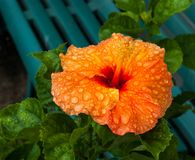 Orange Hibiscus Lizenzfreie Stockfotos