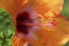 Orange Hibiscus Stockfotografie