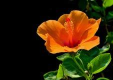 Orange Hibiscus Lizenzfreie Stockfotografie