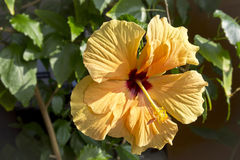 Orange Hibiscus Blossom Royalty Free Stock Photography