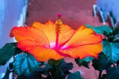 Orange Hibiscus-Blume im Haus-Garten lizenzfreie stockfotografie
