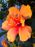 Orange Hibiscus. In California sunset Royalty Free Stock Images