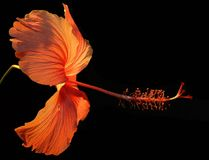Orange Hibiscus Flower on Black Background Stock Photos