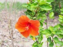 Orange hibiscus flower blooming in the garden.Orange flower in t Stock Photo