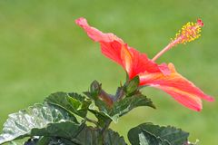 Orange Hibiscus Flower Blossom Royalty Free Stock Image