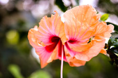orange hibiscus flower blossom closeup shot Stock Photo