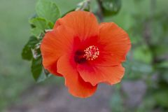 Orange hibiscus flower, chinese rose or chaba flower bloom on nature background. Orange hibiscus flower, chinese rose or chaba flower bloom on blur nature royalty free stock images