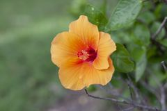 Orange hibiscus flower, chinese rose or chaba flower on nature background. Orange hibiscus flower, chinese rose or chaba flower bloom on blur nature background stock photo