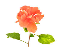Orange Hibiscus flower Stock Photo