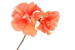 Orange Hibiscus flower Stock Images
