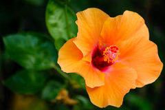 Orange hibiscus flower. The orange hibiscus flowers and Red stamens Stock Photos