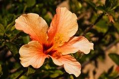 Orange Hibiscus Flower. In full bloom Royalty Free Stock Image
