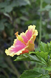 Hibiscus flower Royalty Free Stock Photography