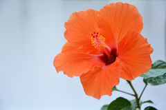 Orange hibiscus flower Royalty Free Stock Image