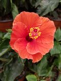 Orange hibiscus flower in garden. Nature and botany, decorative plant for gardens, natural flower with petals and colors Royalty Free Stock Photo