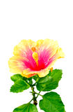 Orange hibiscus flower with green leaves on white Royalty Free Stock Photography