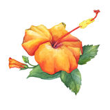 Orange Hibiscus flower. Stock Photo