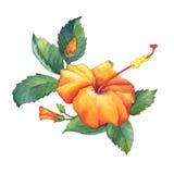 Orange Hibiscus flower. Stock Images