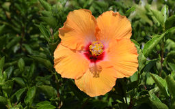 Orange Hibiscus flower Stock Photos