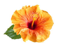 Orange hibiscus flower isolated Stock Image