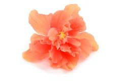 Orange hibiscus flower Stock Photography