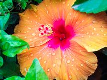 Orange hibiscus flower with pink center stock images